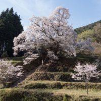 佛隆寺の千年桜