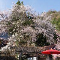 佛隆寺の千年桜 お寺は大和茶発祥の地といわれ、お抹茶1杯500円で頂ける