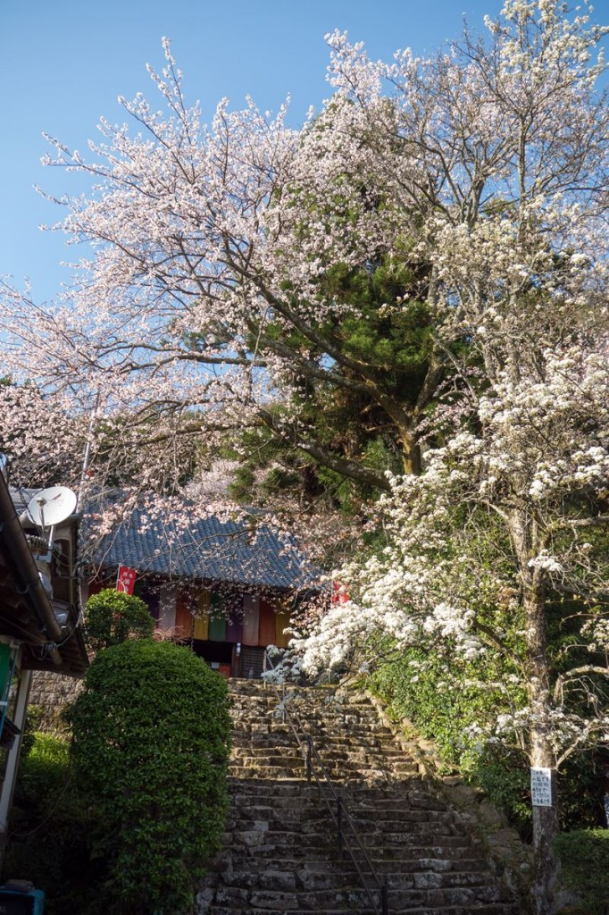 佛隆寺 本堂前 樹齢450年といわれる山梨の木