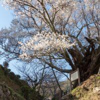 大和三名段 佛隆寺の197段の石段と千年桜