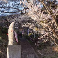 佛隆寺の千年桜と石段