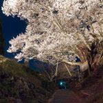 佛隆寺の千年桜 ライトアップ