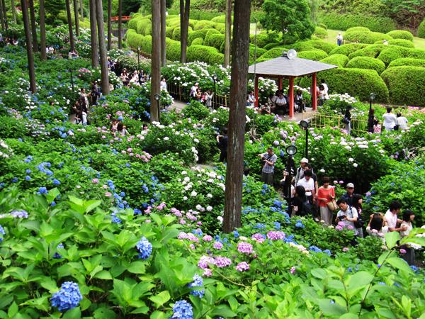 10,000株の紫陽花の花